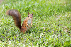 Hairy squirell stopped at low mown grass Stock Images