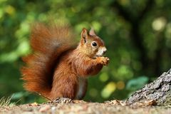Hairy squirrel Royalty Free Stock Photography