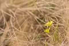 Hairy Star Of Bethlehem Gagea villosa blooming in dry grass. Hairy Star Of Bethlehem Gagea villosa blooming in spring dry grass Stock Photos