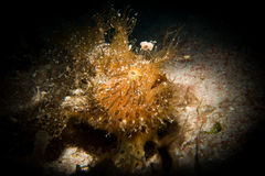 A Hairy or Striated Frogfish - Antenarius striatus Stock Photography