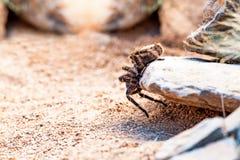 Hairy Striped Knee Tarantula Crawling On Rock Royalty Free Stock Photography