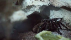 Free Hairy Tarantula Stock Photos - 49512883