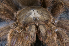 Hairy Tarantula Stock Images