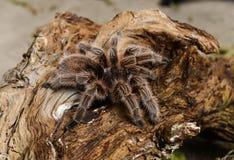 Hairy Tarantula Stock Image