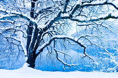Hairy tree covered with snow Royalty Free Stock Image