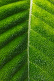 Hairy Tropical Leaf Stock Photos