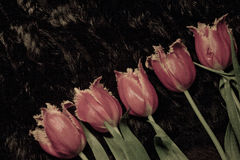 Hairy tulips folded in a diagonal line. Unusual furry red and yellow tulips stacked in line diagonal line. They are on a black background and can be used as a Royalty Free Stock Image