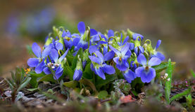 Early dog violet Royalty Free Stock Images