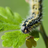 Hairy Visitor. A close-up of a large white butterfly caterpillar royalty free stock photography