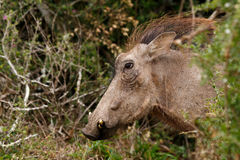 Hairy warthog coming out of the bush Royalty Free Stock Photos