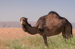 Hairy wild dromedary in the green Moroccan desert royalty free stock photos