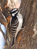 Hairy Woodpecker. Photograph of a female Hairy Woodpecker clinging to the side of a tree Royalty Free Stock Image