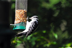 Hairy Woodpecker. Hanging on a peanut feeder royalty free stock photos