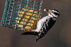 Hairy Woodpecker. With suet in it's bill Stock Photo