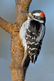 Hairy Woodpecker Stock Image