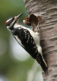 Hairy Woodpecker. A male Hairy Woodpecker at a nest hole Royalty Free Stock Image