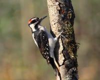 Hairy woodpecker. Male hairy woodpecker on tree trunk Royalty Free Stock Photo
