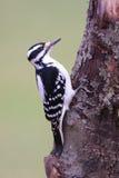 Hairy Woodpecker Royalty Free Stock Photo