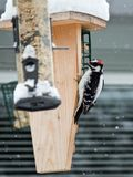 Hairy Woodpecker. Alberta Canada bird feeding on garden birdfeeder during winter snowfall Royalty Free Stock Images