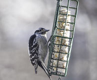 Hairy Woodpecker at Feeder Royalty Free Stock Photography
