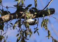 Hairy Woodpecker bird hammering branch, Georgia USA royalty free stock photography