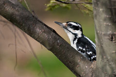 Hairy Woodpecker Crouched in a Tree Stock Photo