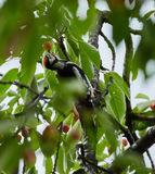Hairy woodpecker eating cherries Stock Images