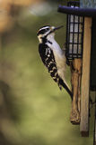 A hairy woodpecker feeding on fedder Royalty Free Stock Photos