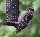 Hairy Woodpecker Feeding Royalty Free Stock Photos