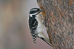 Hairy Woodpecker. Female at hole of pine tree Royalty Free Stock Image