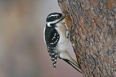 Hairy Woodpecker Royalty Free Stock Image