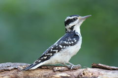 Hairy Woodpecker Royalty Free Stock Photography