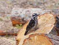 Hairy Woodpecker Royalty Free Stock Photo