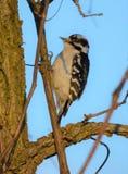 Hairy woodpecker stock photo