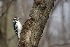 Hairy Woodpecker male Royalty Free Stock Photos