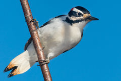 Hairy Woodpecker Stock Images