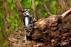 Hairy Woodpecker Stock Photography