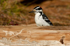 Hairy Woodpecker Stock Photos