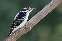 Hairy Woodpecker Stock Photography