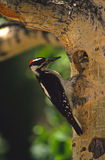 Hairy Woodpecker at nest Cavity. A hairy woodpecker feeding its young at a nest cavity in an aspen Royalty Free Stock Photo