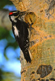 Hairy Woodpecker at nest Cavity Stock Photo