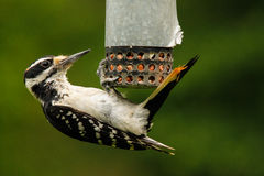 Hairy Woodpecker at Peanut Feeder. A hairy woodpecker clings upside down to a backyard peanut feeder royalty free stock photos
