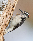 Hairy Woodpecker. A Hairy Woodpecker is pecking away on an old snag with wood particles flying from the tree Royalty Free Stock Photo