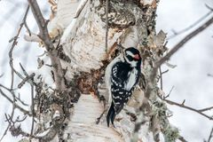 Hairy Woodpecker Perched on a Mature Birch on a Cold December Day royalty free stock images