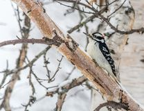 Hairy Woodpecker Perched on a Mature Birch royalty free stock photography