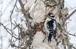 Hairy Woodpecker Perched on a Mature Birch on a Cold December Day. Lamrache, Quebec, Canada stock image