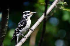 Hairy Woodpecker Perched in a Tree Stock Photos