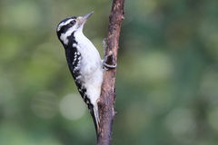 Hairy Woodpecker Perching Stock Photos
