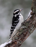 Hairy Woodpecker Perching on a Winter Day Stock Photography