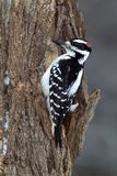 Hairy Woodpecker (Picoides villosus). A male Hairy Woodpecker clings to a stump while searching for bugs royalty free stock images